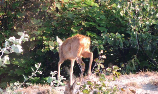 Hertenkalf in het Cannenburgher bos