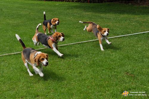"""Voor de liefhebbers verslag van de Jaarlijkse """"Beagle""""dag in Heteren"""