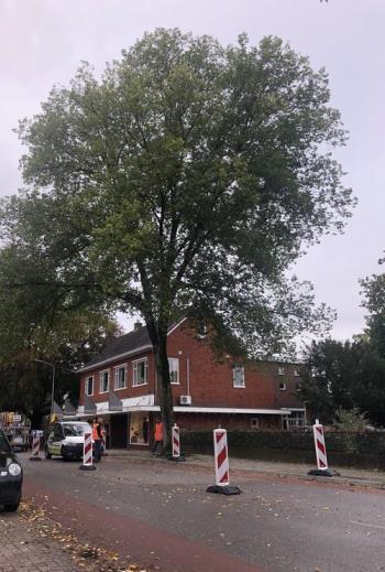 Noodkap iep Dorpsstraat in Vaassen