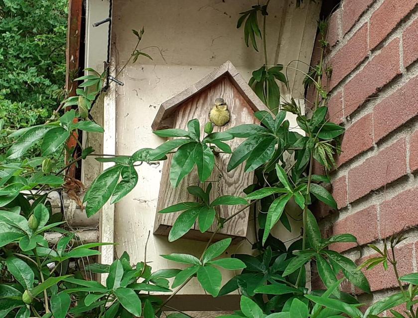Gemeente Epe stelt nestkastjes beschikbaar in strijd tegen eikenprocessierups