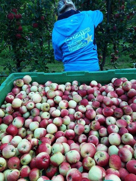 Ongekende hoge opbrengst appels- en perenplukactie Stichting Sidney and Friends