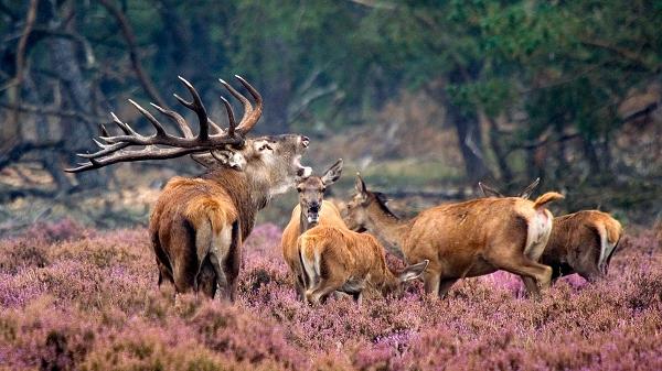 Burlende herten kijken op de Veluwe?
